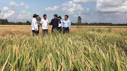 Bạc Liêu: Được bao tiêu, nhà nông yên tâm nuôi tôm, trồng lúa