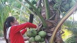 Bình Thuận: Trồng thứ dừa cây thấp tè đã ra trái quá trời, nông dân bảo tiền lãi nhiều mà chăm rất nhàn