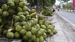 Bến Tre: Thiếu nước do hạn mặn kéo dài, nông dân trồng dừa thất thu