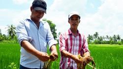 Vụ phun thuốc diệt cỏ, diệt cả... lúa ở Cà Mau: Chủ tịch tỉnh chỉ đạo xác minh làm rõ