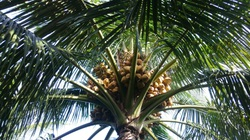 Bình Định: Bất ngờ, nông dân huyện Phù Cát thi nhau trồng dừa xiêm trên đất cát nhiễm mặn