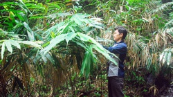 Trồng loại cây an thai, quả khô bán gần 1 triệu/kg, bà con miền núi đếm tiền mỏi tay