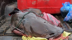 """Choáng: """"Thuỷ quái"""" nặng 60kg, dài gần 2m chuyển từ Lào về Nghệ An, nằm gần hết cả xe tải"""