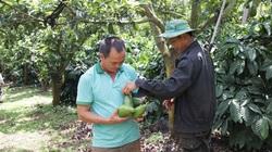 """Đắk Lắk: Trồng cây bơ """"không tên"""" vẫn thu tiền tỷ, """"đá"""" văng các giống bơ ngoại ra khỏi nhiều khu vườn"""