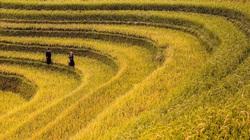 Emagazine: Những điểm ngắm lúa chín vàng đẹp ngất ngây ở phía Bắc