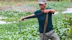 Nam Định: Dân khốn đốn vì trang trại lợn 1.500 con xả thải ra sông