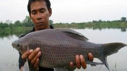 Lâm Đồng: Nuôi loài cá có cái tên nghe mắc cười, đã mập vạm vỡ lại đen trũi, bán đắt tiền