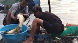 """TT-Huế: Đến khổ, cá trắm to 3-5kg nuôi trên sông lăn ra chết rất nhiều, nông dân than """"bó tay"""""""