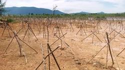 Rừng ngập mặn mới trồng xong đã chết