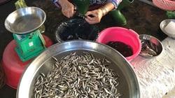 """Đồng Tháp: Giá cá linh non mùa nước nổi đắt đỏ vì gặp phải """"năm nhuần tháng hạn"""""""