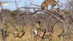 CLIP: Báo hoa mai sợ hãi leo cây vì bị chó hoang săn đuổi