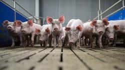 Thế chấp lợn tại ngân hàng, nông dân Trung Quốc được vay hàng chục triệu USD