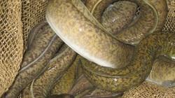 """Quảng Trị: Trời tối đi """"săn"""" loài cá chình suối-đặc sản núi rừng hiếm có khó tìm"""