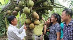 Trà Vinh: Thứ dừa đặc sản cơm vừa dẻo vừa thơm tăng giá mạnh bởi thương lái tranh nhau mua