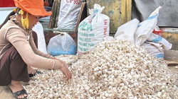 Lý Sơn vẫn còn khoảng 700 tấn tỏi khô chưa được tiêu thụ