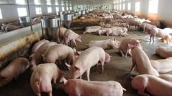 """Nhà đầu tư bỏ cọc, SCIC """"hụt"""" vụ trăm tỷ tại công ty chăn nuôi lợn?"""