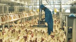Giá gia cầm hôm nay: Giật mình từ chuồng ra chợ giá gà chênh nhau cả trăm ngàn đồng!