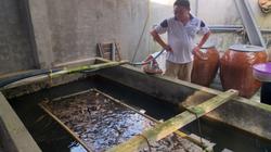 Hậu Giang: Nuôi lươn không bùn trong chuồng heo, nông dân nhàn, bắt toàn con to, bán đắt tiền