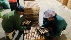 Giá gia cầm hôm nay 18/9: Đàn gia cầm tăng nhanh, trứng gà trứng vịt theo nhau rớt giá