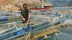 Nông dân vùng lòng hồ sông Đà khấm khá nhờ nuôi cá lồng