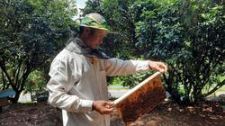 Nghề nuôi ong mật ở Bình Liêu, mỗi năm thu hàng trăm triệu đồng