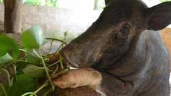 Lợn đen Mường Pa 'đi ủng' màu trắng ở huyện Mai Châu