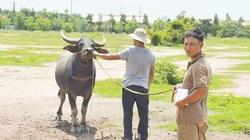 Bắt nhóm chuyên dùng xe tải trộm trâu, bò