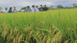 """Phú Thọ: Vụ lúa mùa thành công chưa từng thấy, ruộng nào cũng tốt bời bời, """"ăn chắc"""" 7 tấn/ha"""