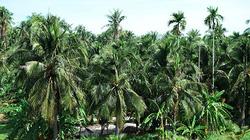 Bình Thuận: Cả làng sống khoẻ re nhờ trồng dừa cho trái quanh năm