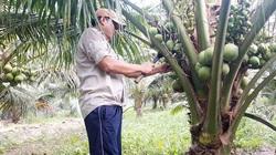 Bến Tre: Ông nông dân này trồng giống dừa gì mà cây lùn tịt đã ra trái quá trời, vừa bán xong 1.500 trái