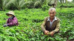 Hậu Giang: Tình cờ mang loài cây lạ về trồng, ra thứ hoa đặc sản, mỗi ngày kiếm 400-500 ngàn đồng