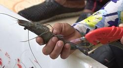 Chịu mức phạt tối đa là bao nhiêu tiền nếu bơm tạp chất vào tôm, cá và các loài thủy sản khác?