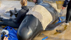 Cuộc giải cứu cá voi hoa tiêu mắc cạn lớn chưa từng có ở Australia