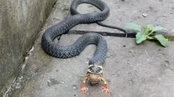 """CLIP: Cận cảnh con rắn """"làm thịt"""" con ếch, gần hết """"phim"""" ngỡ như loài rắn mọc thêm 2 chân ở miệng"""