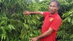 Trồng cà phê khoa học, lão nông thu nhập hàng trăm triệu đồng mỗi năm