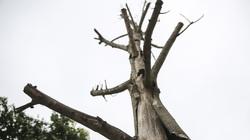 Loạt cây xanh ở Hà Nội chết khô, mục nát gây nguy hiểm trong mùa mưa bão