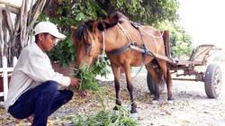 An Giang: Buồn vui những chiếc xe ngựa cuối cùng ở vùng Bảy Núi