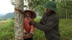 Phú Yên: Giá mủ cao su không ngừng tăng cao, nông dân phấn chấn, đến người đi cạo mủ cũng kiếm dăm trăm ngàn/ngày