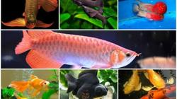 Nuôi 10 loài cá cảnh này trong nhà để tấn tài tấn lộc tiền ùa về như nước