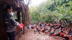 Hà Giang: Trên trồng cây đặc sản, dưới nuôi con đặc sản, nông dân ở đây kiếm bộn tiền