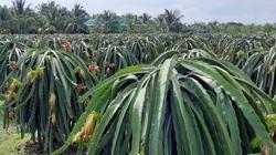 Bí quyết bón phân Ure hiệu quả cho cây thanh long xuất khẩu