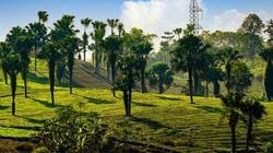 Đề xuất trồng cây cọ trên 62km đường cao tốc Hà Nội - Lào Cai