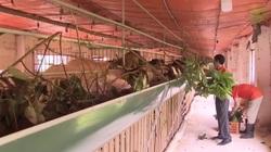 Trang trại chăm dê bằng cỏ, cây thuốc nam độc đáo ở Thủ đô