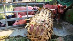 Bình Định: Tung gói hỗ trợ 150 tỷ đồng, giúp nông dân khôi phục đàn heo