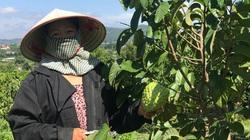 Lâm Đồng: Có một vùng đất trồng thứ na lạ ra trái khổng lồ, ai trông thấy cũng trầm trồ