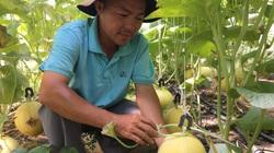 """Ninh Thuận: Trai Uyên Bác bỏ ngành điện về quê """"nghịch đất cát"""" trồng dưa lưới công nghệ cao, thu 60 triệu mỗi vụ"""