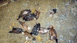 Cà Mau: Đàn gà, vịt hàng chục con lăn ra chết vì nhiễm virus cúm gia cầm