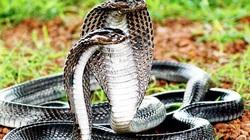 """Nơi được coi là """"thánh địa"""" của những con rắn hổ mang chúa siêu to khổng lồ"""