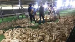 Giá gia cầm hôm nay 8/9: Vịt thịt miền Nam khan hàng, dân nuôi gà màu bỏ nghề vì lỗ nhiều quá