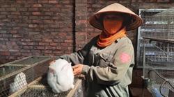 Quảng Ninh: Nuôi đủ thứ con chẳng khá được, đến lượt nuôi loài thú lông trắng, mắt đỏ lại phát tài